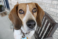 The Beggar (RJohn123) Tags: dog beagle animal puppy outdoors chair canine porch begging outide beg