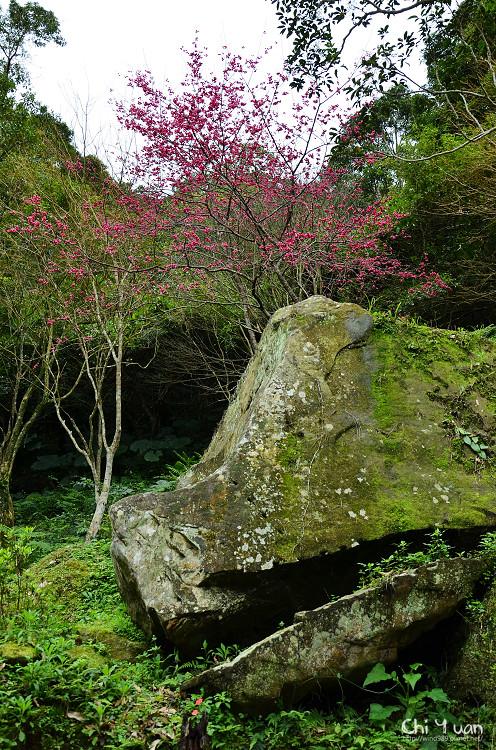 桃源仙谷-櫻花林17.jpg