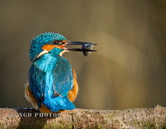 Male Kingfisher with fish (Nigel Dell) Tags: winter birds flickr wildlife kingfisher ngdphotos
