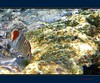 Farfalle marine - Marine butterflies (Jambo Jambo) Tags: sea mare underwater redsea egypt sharmelsheikh snorkeling reef egitto fins butterflyfish barrieracorallina marrosso redbackbutterflyfish codarossa pescefarfalla crownbutterflyfish jambojambo mygearandme mygearandmepremium mygearandmebronze mygearandmesilver samsungwp10 pescefarfallacoronato