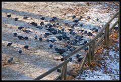 Tbingen - Die Tauben der Neckarinsel (youseebee) Tags: eis neckar tbingen tauben neckarinsel youseebee