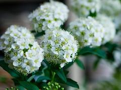 PhoTones Works #995 (TAKUMA KIMURA) Tags: plant flower nature small    kimura ep3 takuma    zd1260 photones