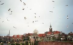 gulls (Jos Mecklenfeld) Tags: leica film netherlands birds 35mm gulls vogels vista agfa meeuwen overijssel z2x agfavista agfavista200 blokzijl leicaz2x epsonv500 agfaphotovistaplus200