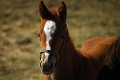 DSC_8979 (Michael P Bartlett) Tags: horses animals saratoga farms horseracing