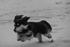 long haired dachshund (bjc isle of wight) Tags: blackandwhite bw dog beach sand nikon longhair hound running run dachshund isleofwight coolpix bandw ryde sausagedog appley p510