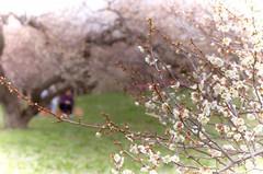 "Wrapped in spring""Sato-Farm/"" (K16mix) Tags: red white tree japan landscape asia flickr fresh  ume refreshing   miyagi tohoku  touhoku  japaneseapricot     umeblossom umetree   osakishi   gettyimagesjapan12q2"