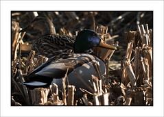 PruebaPajaros-46 (Jose Luis Durante Molina) Tags: naturaleza color nature birds animals pajaros animales pruebas impresion terminada joseluisdurante
