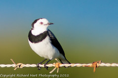 White-fronted Chat (SillyOldBugger (in and out of internet range)) Tags: wild male bird chat australian australia aves tasmania handheld avian bayoffires wildbird whitefrontedchat epthianuraalbifrons minolta3004hsg sonya55 sonyalpha55 sonydslta55 wildbirdaustralia minolta300f4hsglens sony14apoteleconverter a55birdingrig bayoffiresconservationarea
