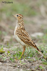 Skylark, Alauda arvensis. (Nigel Blake, 15 MILLION views! Many thanks!) Tags: bird history nature birds canon photography natural farm wildlife farming conflict agriculture blake nigel ornithology skylark interests arvensis passerine alauda eos1dsmkiii 600mmf4is