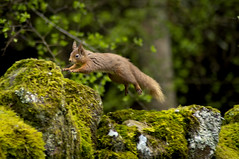 Mid Air Red Squirrel (Chris McLoughlin) Tags: action redsquirrel sigma150500 chrismcloughlin sonya580