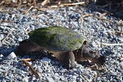 Heading For Water (NatureFreak07) Tags: travelling water spring turtle reptiles snappingturtle lemoinespoint kingstonon naturefreak07 hnainphotography