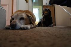 Pups chillin' out (Mhairi Dunlop) Tags: labrador chocolatelab chocolatelabrador
