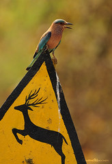 Watch for deers.. (....Nishant Shah....) Tags: india bird nature birds bokeh wildlife deer signpost 300mmf28 indianroller coraciasbenghalensis tadoba tatr tc17 nikond90 tadobaandharitigerreserve