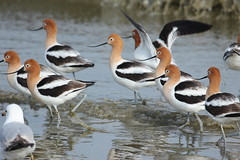 American Avocets at McKinley Beach (Rita Wiskowski) Tags: park bird beach wisconsin american shore milwaukee avocets milwaukeecounty mckinleybeach