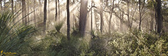 Forest Magic (southern_skies) Tags: morning trees light forest australia grasstree
