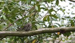 Little Owl (Nikki Humphrey Photography) Tags: tree garden little owl perch berkshire flickrshop