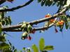 Castanospermum australe pods.JPG (vishnu_agni) Tags: mar bangalore castanospermumaustrale blackbeantree