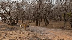 ADS_0000103757 (dickysingh) Tags: wildlife tiger tigers ranthambore indianwildlife ranthambhorenationalpark