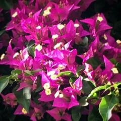 Violet (cor20131) Tags: macro verde primavera foglie spring natura luci fiori piante viola primopiano iphone allaperto 6s sfumature