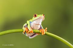 Red Eye Tree Frog D75_2670.jpg (Mobile Lynn) Tags: england nature fauna unitedkingdom wildlife ngc amphibian frog npc captive bournemouth agalychniscallidryas coth greatphotographers redeyetreefrog specanimal coth5 sunrays5