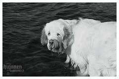 Slurps. (hujanen53) Tags: blackandwhite bw dog water animal 35mm canon suomi finland spaniel vesi mustavalko eläin lappeenranta dogportrait koira mustavalkoinen canonef35mmf20 clumberspaniel spanieli canoneos450d clumberinspanieli