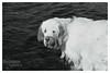 Slurps. (53Hujanen) Tags: blackandwhite bw dog water animal 35mm canon suomi finland spaniel vesi mustavalko eläin lappeenranta dogportrait koira mustavalkoinen canonef35mmf20 clumberspaniel spanieli canoneos450d clumberinspanieli