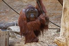 Zoo Muenster (Magdeburg) Tags: germany deutschland zoo orangutan muenster orang münster utan allwetterzoo westfalen allwetterzoomünster zoomuenster