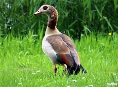 Nijlgans (JanJGorter) Tags: geese goose ganzen oies nijlgans