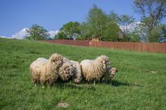 obserwacja (PanMajster) Tags: trip sun mountains weather fun sheep pentax hiking curiosity herd gry k5 soce rycerzowa stado owca beskid wielka ciekawo