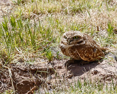 1-burrowingowl-4158 (h.redpoll) Tags: bigbendtrip burrowingowl elpasowetlandspark texas