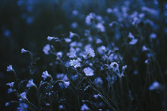 Little ones (Frostroomhead) Tags: flowers plants white art nature dark nikon bokeh f14 sigma 30mm d5200