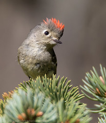 Ruby-crowned Kinglet (Nick Saunders) Tags: male birds spring small birding crest tiny spruce rubycrownedkinglet kinglet