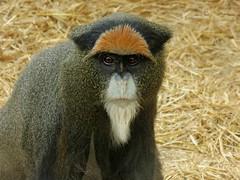 De Brazza's monkey (Linda DV (away)) Tags: park travel animal fauna geotagged zoo monkey spain canarias tenerife primate canaryislands 2016 monkeypark debrazzasmonkey cercopithecidae geomapped cercopithecusneglectus lindadevolder