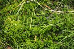 Sparriges Torfmoos (Sphagnum squarrosum); Schwabstedt-Hollbllhuus, Wildes Moor (36) (Chironius) Tags: germany deutschland pantano peat swamp bottoms alemania marsh grn moor bog marais allemagne germania schleswigholstein sump ogie sumpf pomie  sphagnum schwabstedt nordfriesland niemcy bryophyta tourbire sphagnaceae   turbera sphagnopsida sphagnales pomienie laubmoose marcageuse szlezwigholsztyn torfmoose sphagnophytina