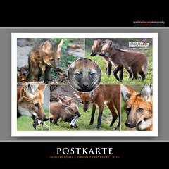 POSTKARTE (Matthias Besant) Tags: deutschland zoo hessen postkarte 2016 zoofrankfurt mhnenwolf zooshop maehnenwolf mhnenwlfe matthiasbesantphotography matthiasbesant maehnenwoelfe designstudiobesant