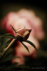 Jeune Pivoine ... ( P-A) Tags: fleur photos naissance suruga jardinbotanique pivoine bouton touristes visiteurs bulbe impressionnant ottawaontario platesbandes fermeexprimentale simpa
