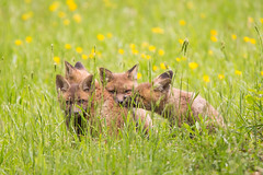 four foxes (jrinker) Tags: cute love animals affection wildlife warmth fox kindness foxes cuteanimals animalpics
