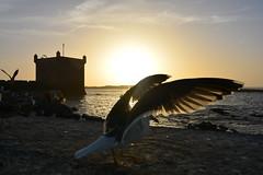 Sunset in Essaouira (supersky77) Tags: ocean sunset tramonto seagull atlantic morocco marocco essaouira gabbiano oceano atlantico