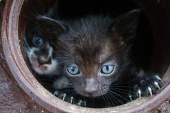 Mew!!!! (dzepni_oktavo) Tags: pet black cute beautiful animal cat small kittens mew