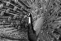 Peacock in black and white (Mario Ottaviani Photography) Tags: blackandwhite bw white black bird monochrome beauty animal monocromo tail peacock bn bianco nero animale biancoenero coda uccello pavone sonyalpha slta77