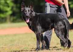 2016-05-22, IPO Training-6 (Falon167) Tags: dog shepherd rhonda german miles gsd germanshepherddog