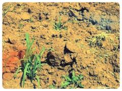 San Pedro Tida @ Oaxaca 04.2013 (planeta) Tags: mexico corn oaxaca maiz mixtec mixteco 2013