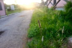 Against The Sunset (Anna Hari) Tags: light sunset wild summer italy plant flower green nature grass outdoors golden bright outdoor web fave fujifilm shining laquila 2016 xm1
