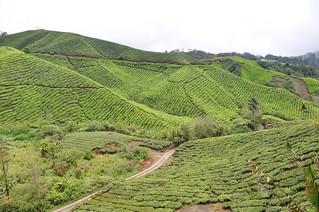 cameron highlands- malaisie 30