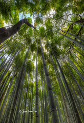 The Bamboo forest of Arashiyama! (stuckinparadise) Tags: green japan forest temple kyoto bamboo arashiyama groove sagano tenryuji stuckinparadise