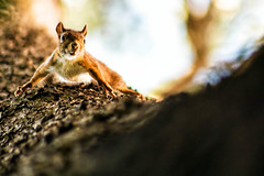 DSC_3753 (stivemakeouine) Tags: squirrel cureuil