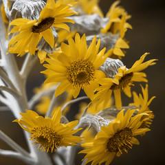 Senecio (Claudia Pino) Tags: flower planta fleur canon 50mm flora colombia flor amarillo graden 6d airelibre pramo chingaza chigaza claudiapinofotografica wwwclaudiapinocom senecius