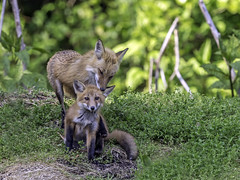 A Fox and her Kit (Bella Remy Photography) Tags: maryland fox equilibriumhorsecenter