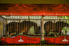 time to rest already (pbo31) Tags: california friends red summer horses color animal june night dark nikon sleep pair fair cage bayarea eastbay resting budweiser pleasanton grounds alamedacounty clydesdales 2016 boury pbo31 d810