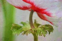 CP - 21 Close up of anemone (Clare Pickett) Tags: red painterly flower texture leaf stem